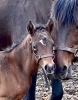 Brook Hill filly
